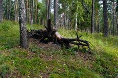 一根老断枝在杉木森林里 免版税库存照片