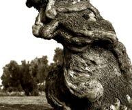 一根老橄榄树干的片段用意大利语普利亚 免版税库存图片