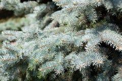 一根蓝色冷杉木的分支 免版税库存图片