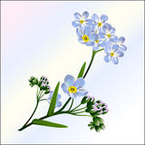 一根蓝色勿忘草的花在轻的背景的 免版税库存照片