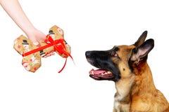 以一根骨头的形式一件礼物狗的,被隔绝的,白色背景 免版税库存图片