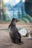 一棕熊坐 库存图片