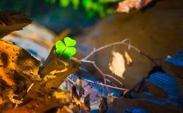 一棵三叶草在森林里,美好的绿色 免版税库存图片