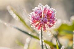 一棵三叶草的桃红色花在草甸的 免版税库存照片