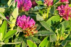 一棵三叶草的桃红色花在草甸的 免版税库存图片
