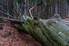 一棵下落的树在山的一个森林里在晚冬季节 库存图片