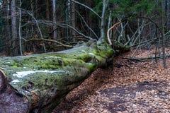 一棵下落的树在山的一个森林里在晚冬季节 免版税库存照片