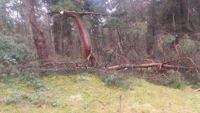 一棵下落的树在森林里 库存图片