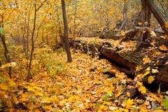 一棵下落的树在森林里 免版税库存照片