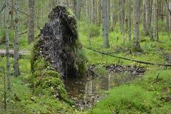 一棵下落的树的根在深森林 库存图片
