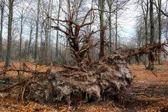 一棵下落的树的根 免版税库存图片