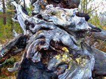 一棵下落的树的老腐烂的根 免版税库存照片