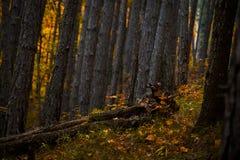 一棵下落的树 免版税库存照片