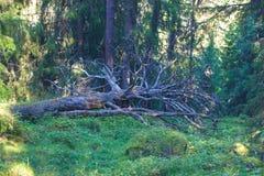 一棵下落的树 免版税库存图片