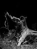 一棵下落的树B&W的根 库存照片