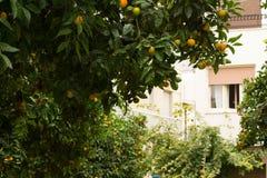 一棵中国柑桔树在市雅典 免版税库存照片