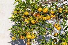 一棵中国柑桔树的分支用成熟果子 库存照片