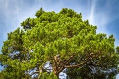 一棵云杉的树的冠 免版税库存图片