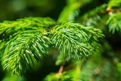 一棵云杉的树的绿色分支和针 免版税图库摄影