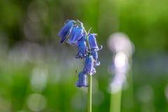 一棵会开蓝色钟形花的草 库存照片