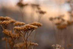 一棵伞状花的植物的剪影日落太阳的 免版税库存图片