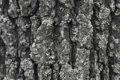 一棵伟大的水池Bristlecone杉树,因约县,加利福尼亚的树干在白色山的 库存图片