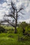 一棵偏僻的干燥树 库存照片