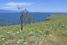 一棵偏僻的树在贝加尔湖背景站立  免版税库存照片