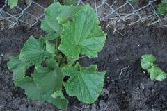 一棵健康,年轻黄瓜植物 免版税库存照片