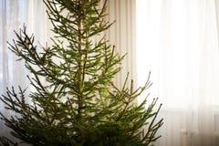 一棵光秃的圣诞节云杉树的特写镜头在家没有装饰 免版税库存照片