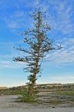 一棵光秃的杉树 免版税库存照片
