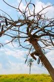 一棵光秃的树和棕榈树 免版税图库摄影