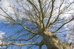 一棵光秃的树的抽象看法在冬天 免版税库存图片