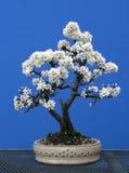 一棵双树干黑刺李盆景在充分的春天开花 库存照片
