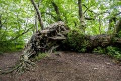 一棵古老树的被缠结的根 免版税库存图片