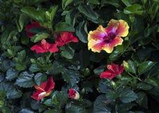 一棵唯一多彩多姿的木槿在明亮的阳光下开花与几棵红色木槿 图库摄影