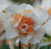 一棵唯一开花的白橙色水仙在Keukenhof 关闭 图库摄影