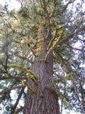 一棵唯一杉木 库存图片