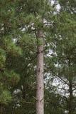 一棵唯一杉树在杉木森林里 免版税库存照片