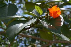 一棵唯一橙色木槿由太阳美妙地开花由后面照 库存图片