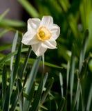 一棵唯一白色水仙在一个耕种的英国庭院里开花有绿色箭头型叶子背景  免版税库存照片