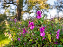 一棵喜马拉雅凤仙花植物的湿芽和花 免版税图库摄影
