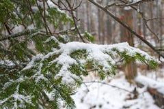 一棵圣诞树和山脉灰的毛茸的具球果绿色分支在雪的在期间的森林里降雪 免版税库存照片