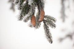 一棵圣诞树的分支与两个锥体的 库存照片