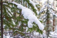 一棵圣诞树的Velvetweed具球果绿色分支在雪的在期间的一个森林里降雪 库存图片