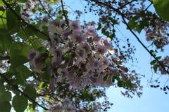 一棵在淡紫色花的惊人的树绽放 这些花是象响铃 免版税库存图片
