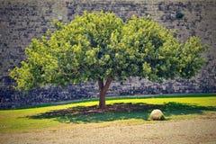 一棵壮观的树和石墙 免版税库存图片