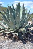 一棵多刺的植物 免版税库存图片