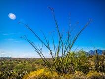一棵多刺的词根蜡烛木在巨人柱国家公园,亚利桑那 图库摄影