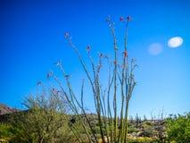 一棵多刺的词根蜡烛木在巨人柱国家公园,亚利桑那 免版税库存照片